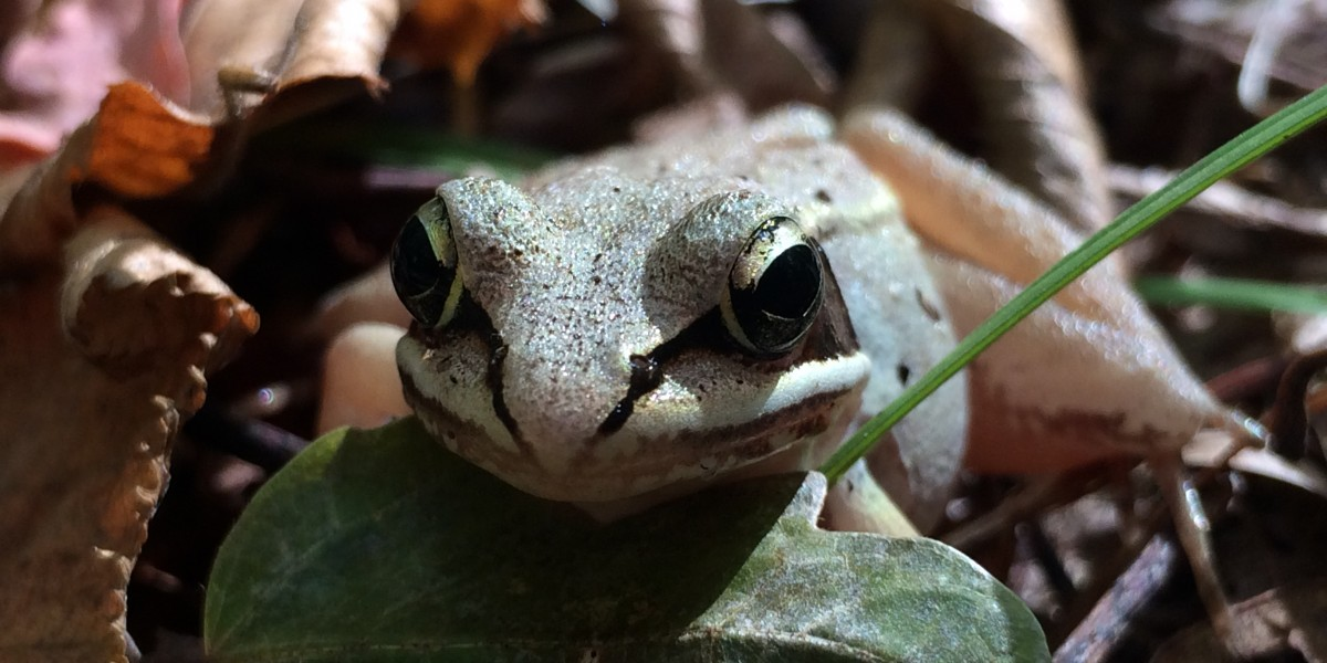 Wood frog; photo by Melissa Fadden