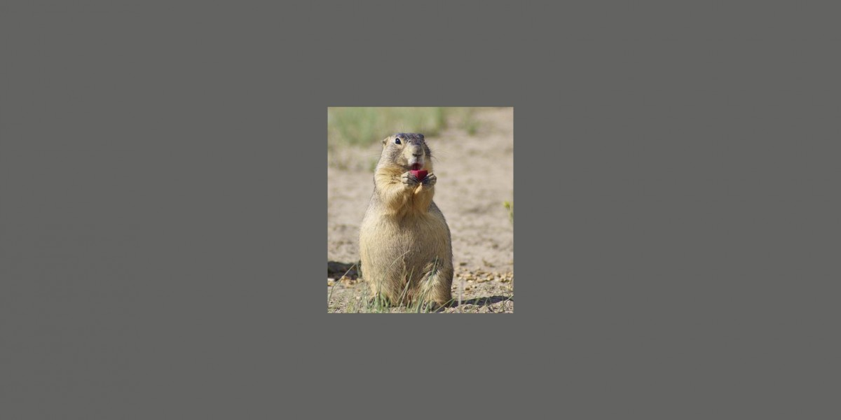prairie dog eating SPV bait