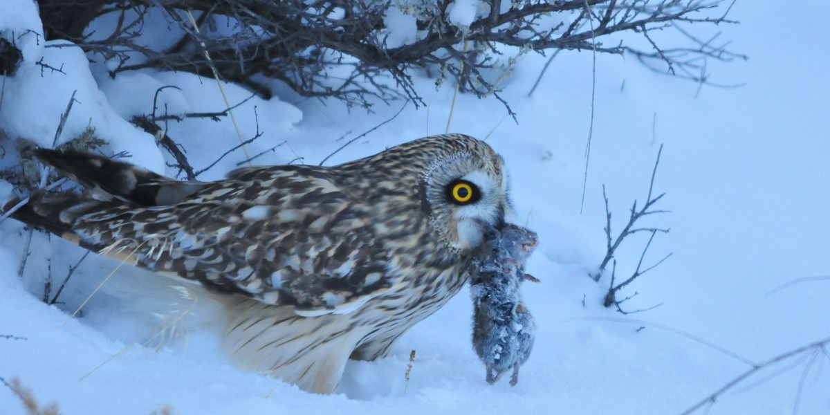 Short eared owl with prey;By USFWS Mountain-Prairie [CC BY 2.0], via Wikimedia Commons