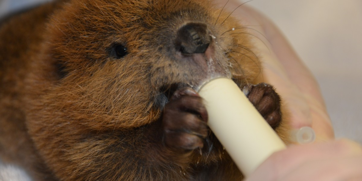 baby beaver feeding time at Janet L. Swanson Wildlife Health Center before going onto a licensed wildlife rehabilitator for further care