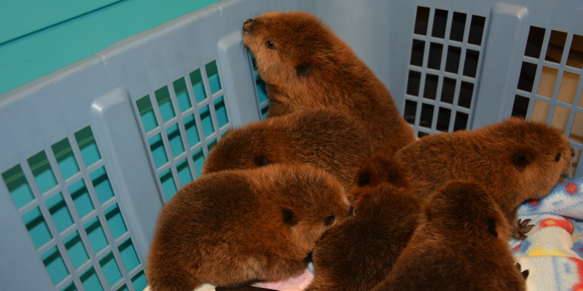 Baby beavers brought in to the Janet L. Swanson Wildlife Health Center
