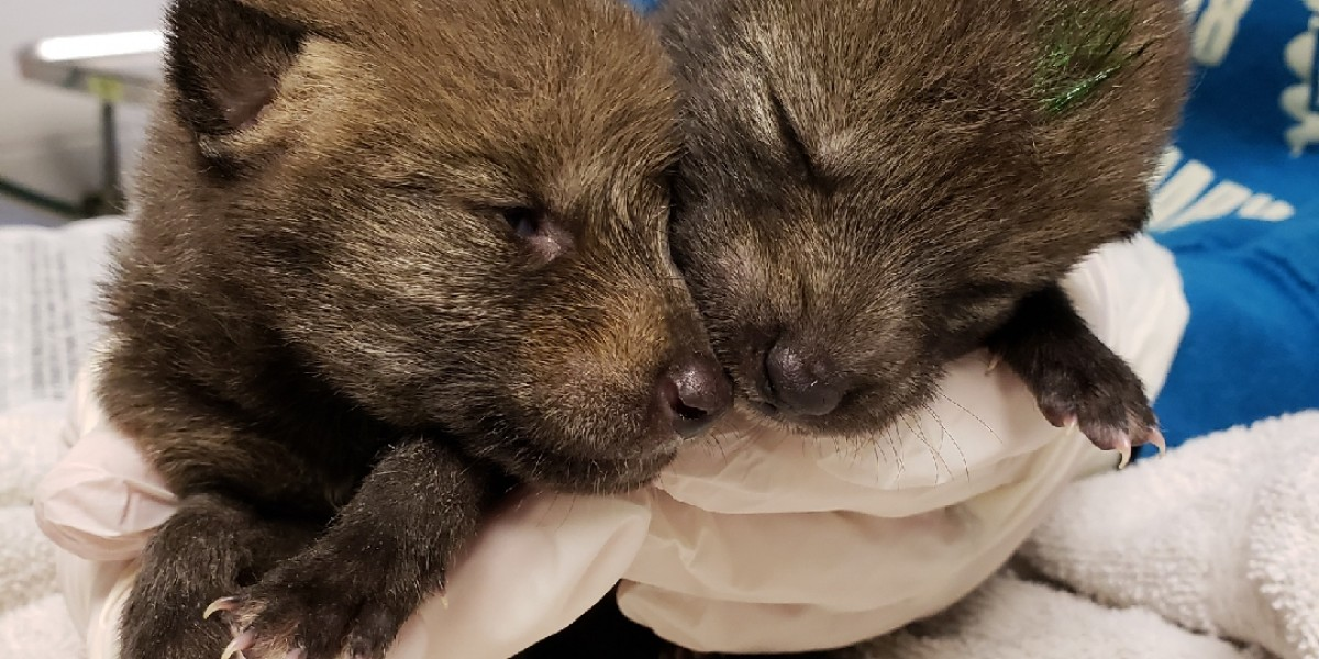 Coyote pups T Janet L. Swanson Wildlife Health Center