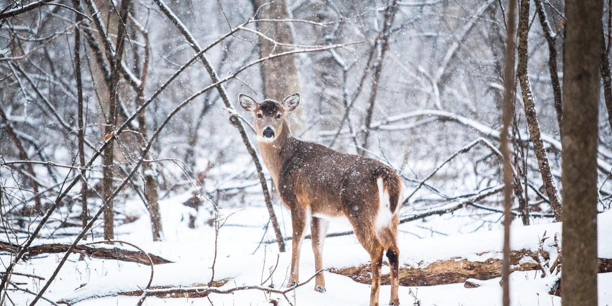 deer in snowy weather
