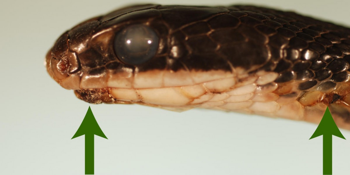 The opaque eyes and hard, crusty scales on this Eastern racer are telltale signs of snake fungal disease.