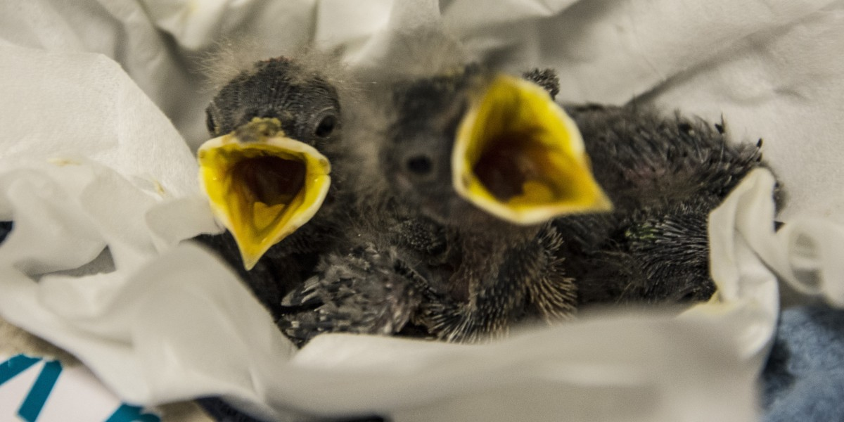 Nestlings at the Janet L. Swanson Wildlife Health Center