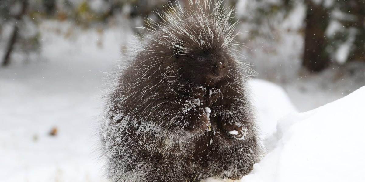 snowy porcupine