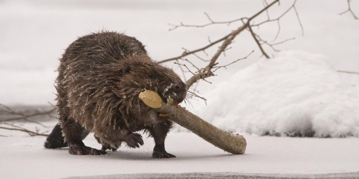 Beaver in winter