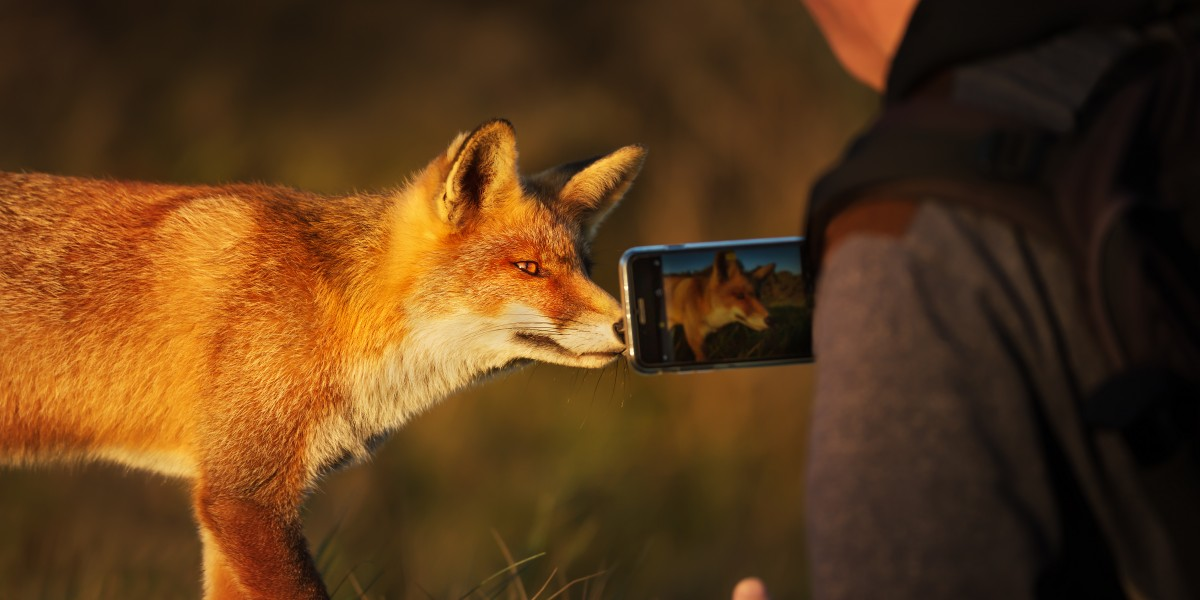 Red fox selfie