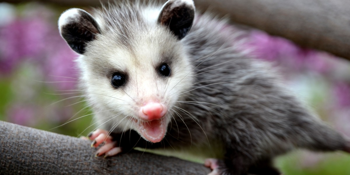 juvenile Virginia opossum