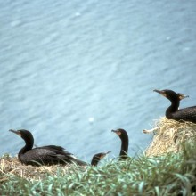Double-crested_Cormorants_Nesting