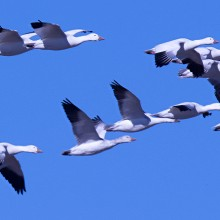 Snow geese in flight, By Russ [CC BY 2.0 via Wikimedia Commons]