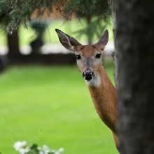 White-tailed deer with biting insects on it