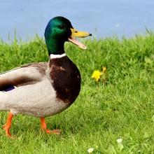 Mallard duck-male