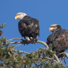 Adult and juvenile bald eagles
