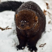 Fisher in the snow