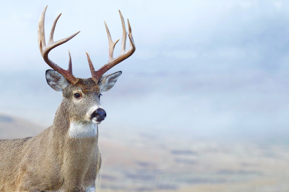 white-tialed buck